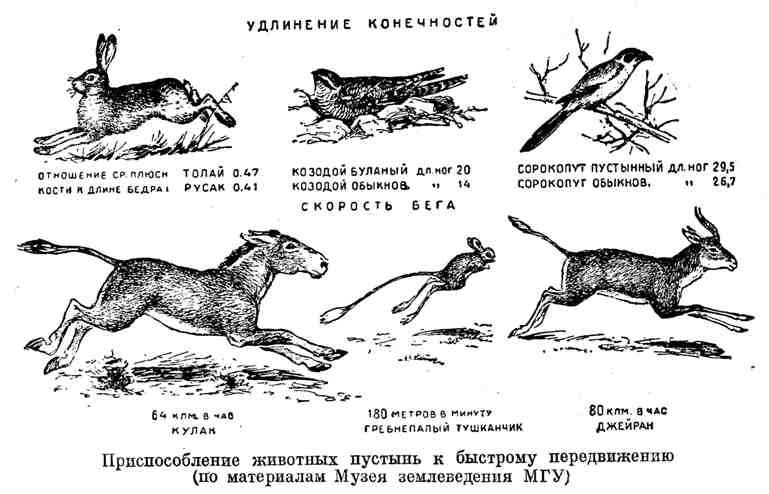 Приспособление животных пустынь к быстрому передвижению