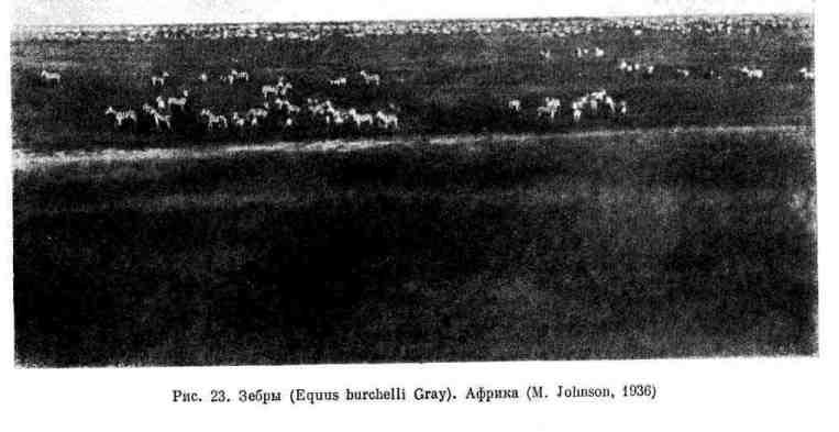 Зебры. Африка