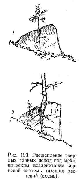 Ращепление твёрдых горных пород  под механическим воздействием  корневой системы высших растений