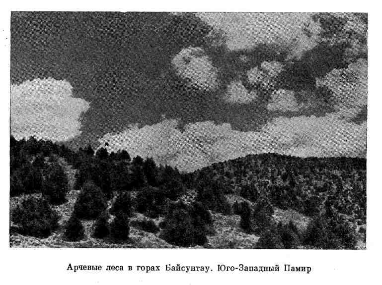 Арчевые леса в горах Байсунтау. Юго-Западный Памир