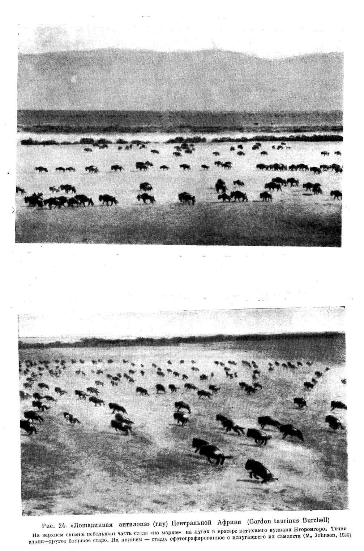 """""""Лошадиная антилопа"""" (гну) Центральной Африки"""