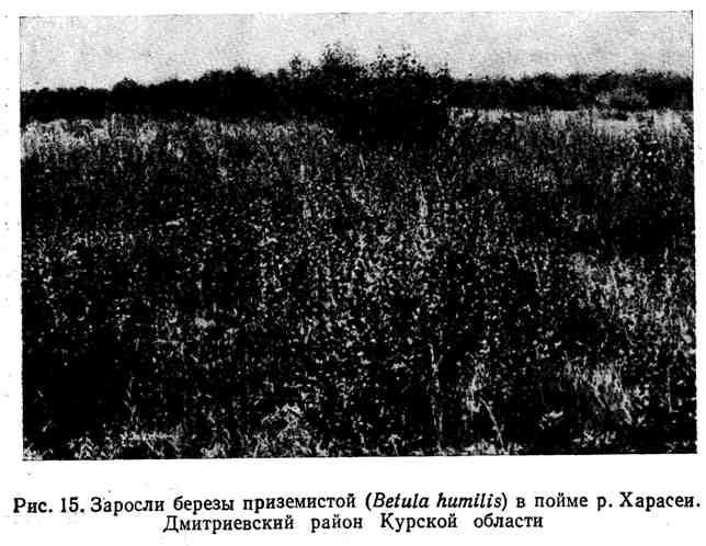 Заросли берёзы приземистой в пойме р. Харасеи. Дмитриевский район Курской области