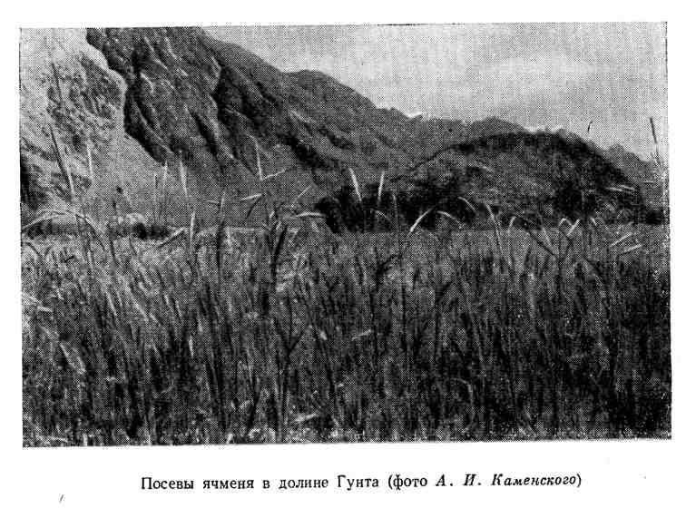 Посевы ячменя в долине Гунта