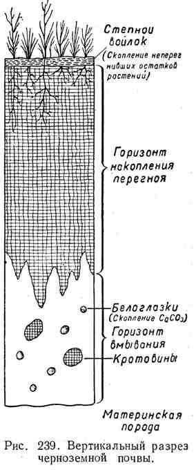 Вертикальный разрез чернозёмной почвы