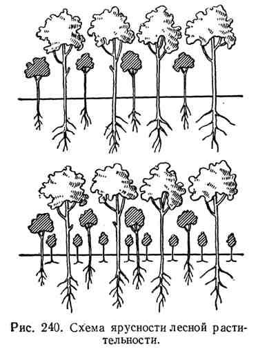 Схема ярусности лесной растительности
