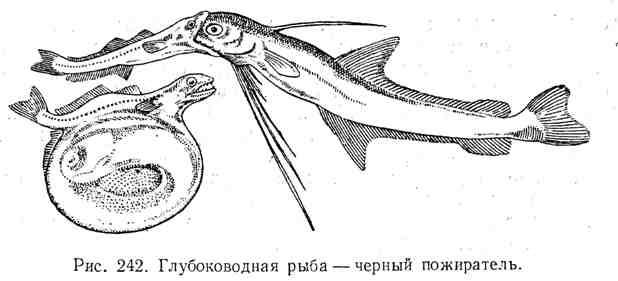 Глубоководная рыба - чёрный пожиратель