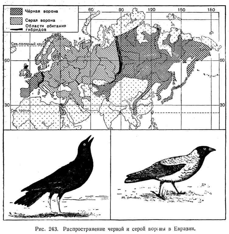 Распространение чёрной и серой вороны в Евразии