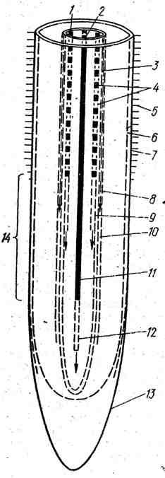 Продольный ход дифференциации тканей в апикальной части корня