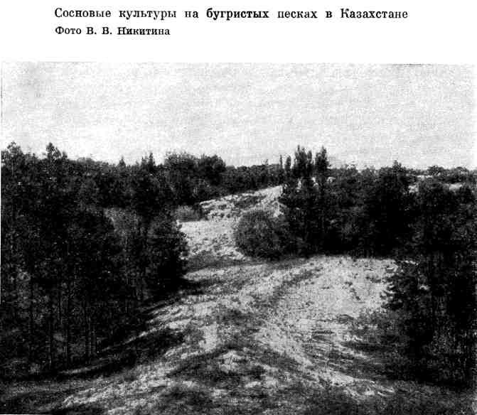 Сосновые культуры на бугристых песках в Казахстане