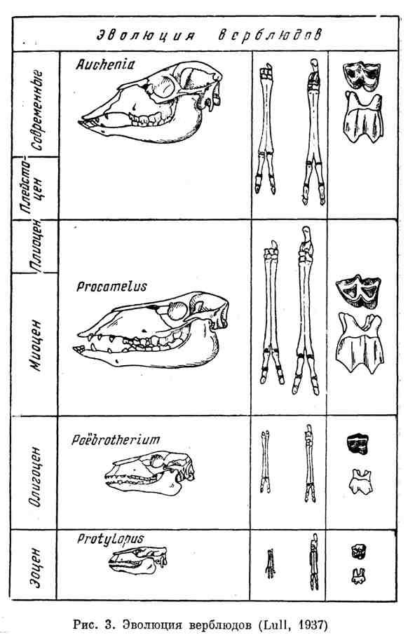 Эволюция верблюдов