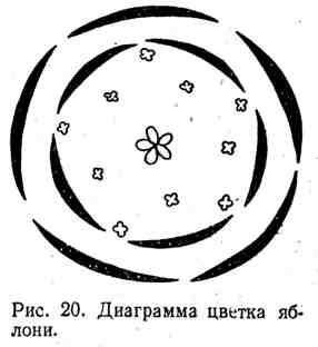 Диаграмма цветка яблони