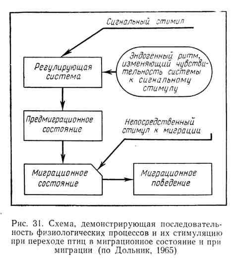 Схема, демонстрирующая последовательность физиологических процессов и их стимуляцию при переходе птиц в миграционное состояние и при миграции