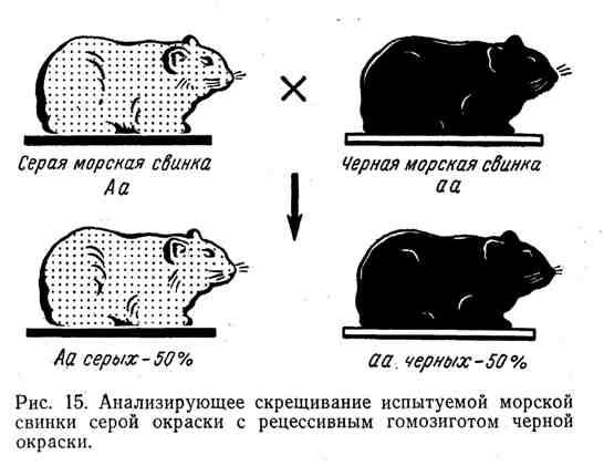 Анализирующее скрещивание испытуемой морской свинки серой окраски с рецессивным гомозиготом чёрной окраски