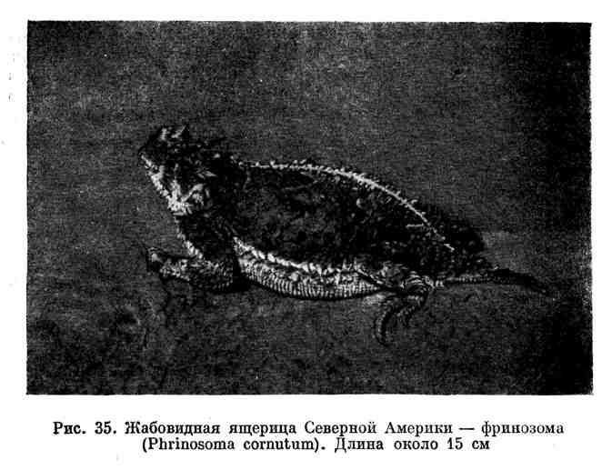 Жабовидная ящерица Северной Америки - фринозома