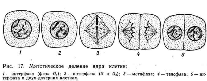 Митотическое деление ядра клетки