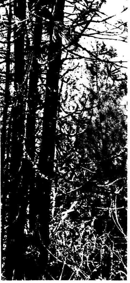 Расселение кедра кедровкой