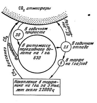 Схема круговорота углерода в болотном биогеоценозе переходного типа