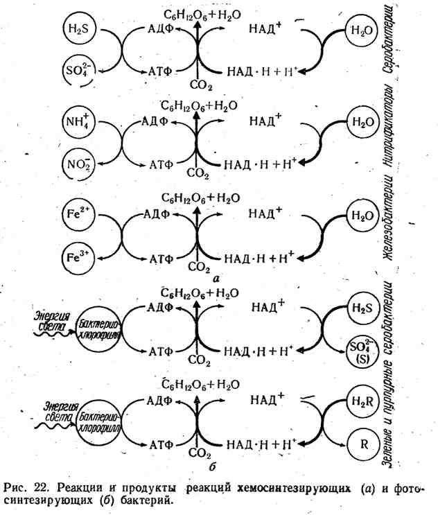 Реакции и продукты реакций хемосинтезирующих и фотосинтезирующих бактерий