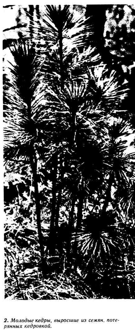Молодые кедры, выросшие из семян, потерянных кедровкой