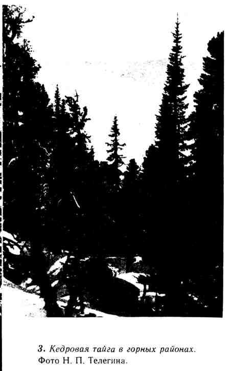Кедровая тайга в горных районах