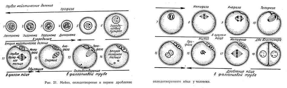 Мейоз, оплодотворение и первое дробление оплодотворённого яйца у человека