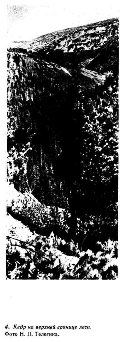 Кедр на верхней границе леса
