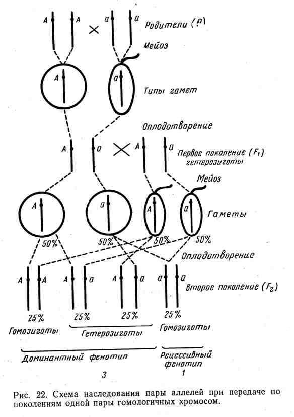 Схема наследования пары аллелей при передаче по поколениям одной пары гомологичных хромосом