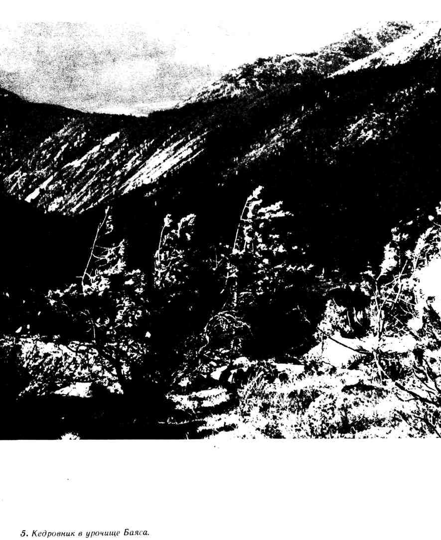 Кедровник в урочище Баяса