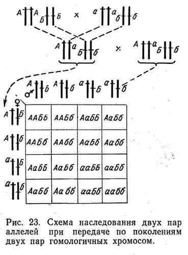 Схема наследования двух пар аллелей при передаче по поколениям двух пар гомологичных хромосом
