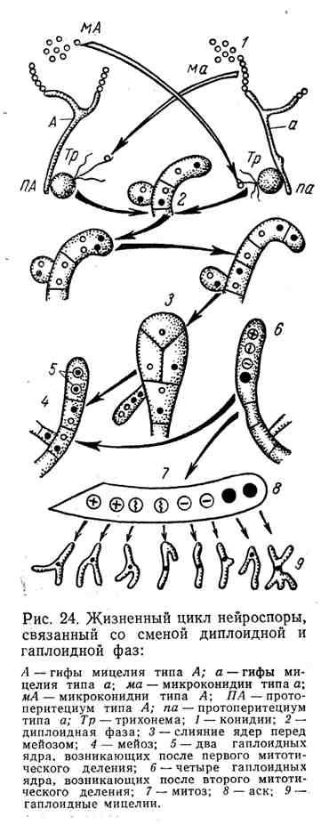 Жизненный цикл нейроспоры, связанный со сменой диплоидной и гаплоидной фаз