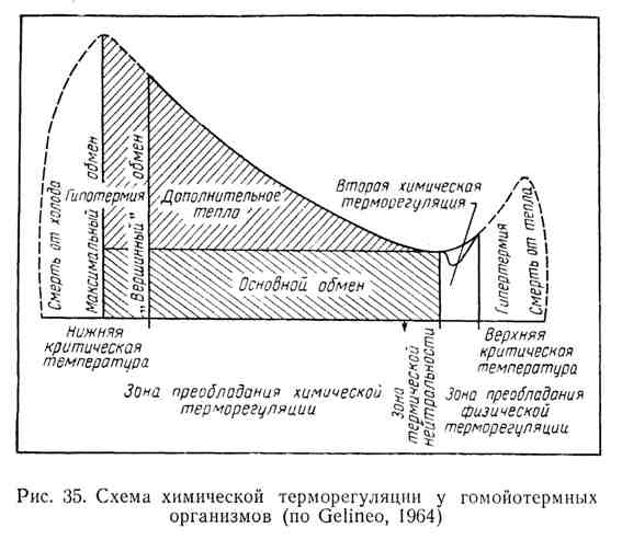 Схема химической терморегуляции у гомойотермных организмов