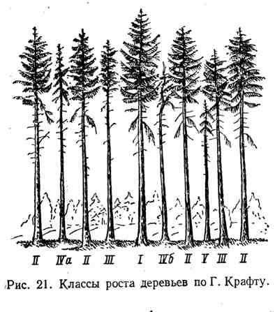Классы роста деревьев по Г. Крафту