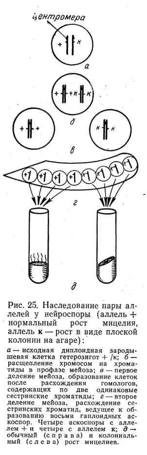 Наследование пары аллелей у нейроспоры