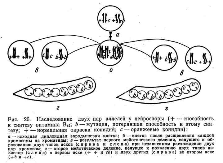 Наследование двух пар аллелей у нейроспоры