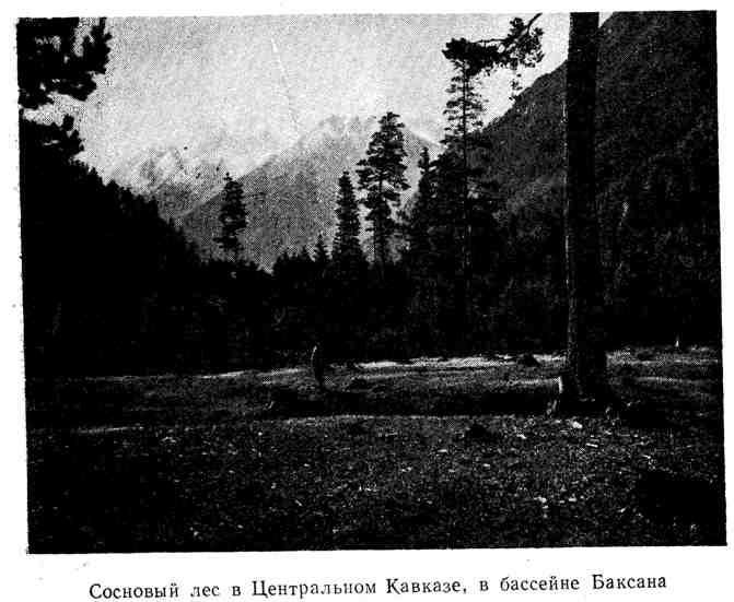 Сосновый лес в Центральном Кавказе, в бассейне Баксана