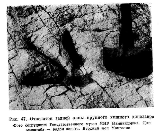 Отпечаток задней лапы крупного хищного динозавра