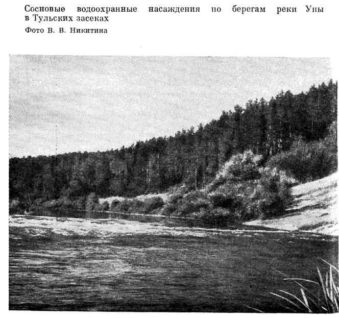 Сосновые водоохранные насаждения по берегам реки Упы в Тульских засеках