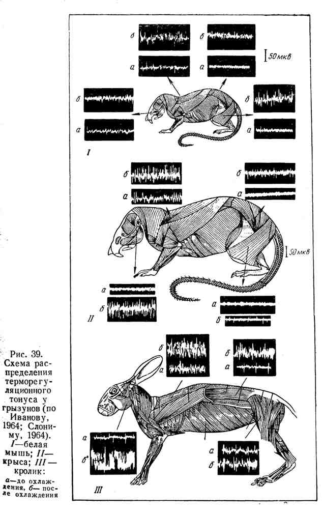 Схема распределения терморегуляционного тонуса у грызунов
