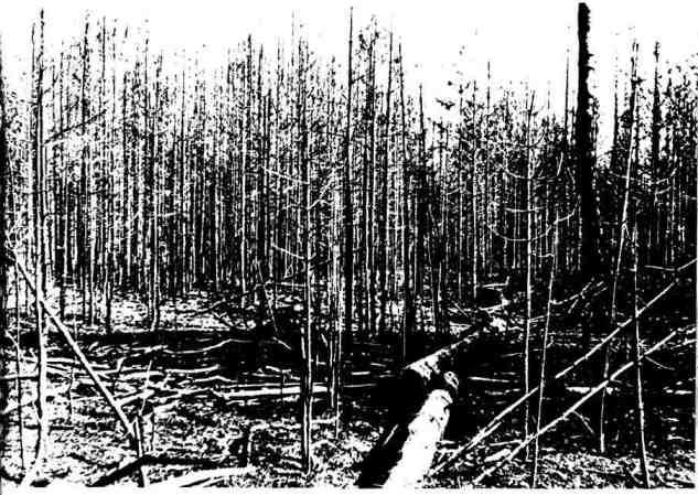Лес после верхового лесного пожара