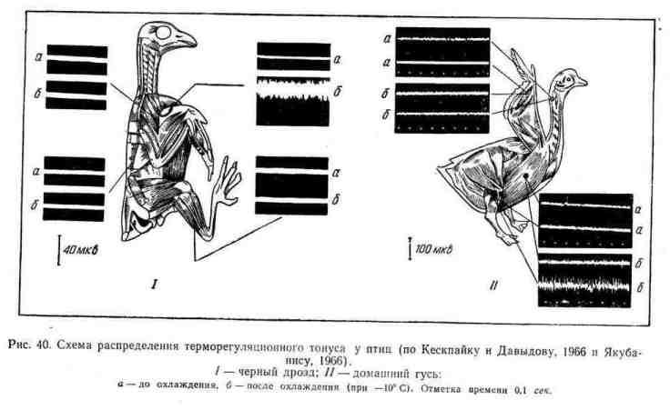 Схема распределения терморегуляционного тонуса у птиц
