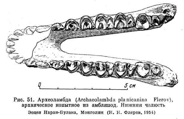 Археоламбда, архаическое копытное из амблицод. Нижняя челюсть