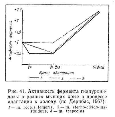 Активность фермента гиалуронидазы в разных мышцах крыс в процессе адаптации к холоду