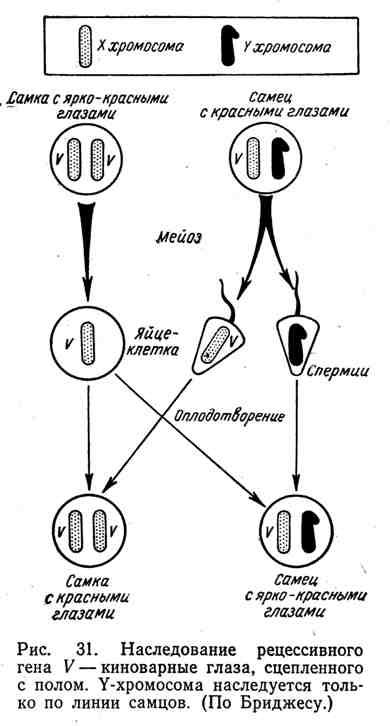 Наследование рецессивного гена V - киноварные глаза, сцепленного с полом