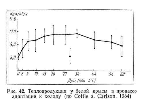 Теплопродукция у белой крысы в процессе адаптации к холоду