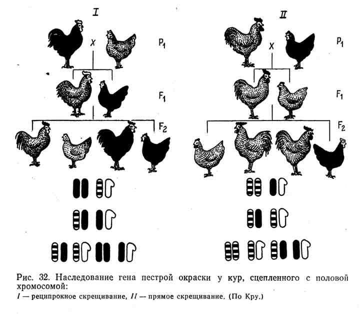 Наследование гена пёстрой окраски у кур, сцепленного с половой хромосомой