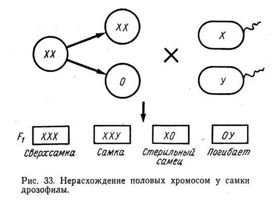 Нерасхождение половых хромосом у самки дрозофилы