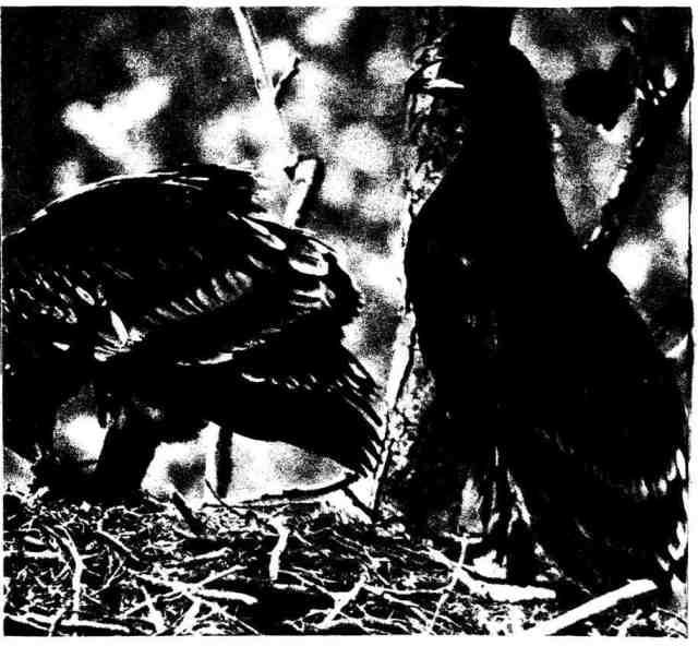 В гнезде больших подорликов редко бывает больше двух птенцов