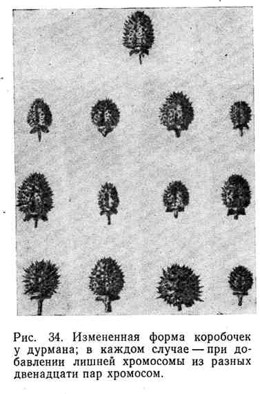 Изменённая форма коробочек у дурмана; в каждом случае - при добавлении лишней хромосомы из разных двенадцати пар хромосом