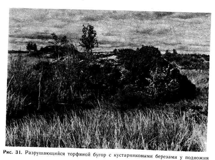 Разрушающийся торфяной бугор с кустарниковыми берёзами у подножия