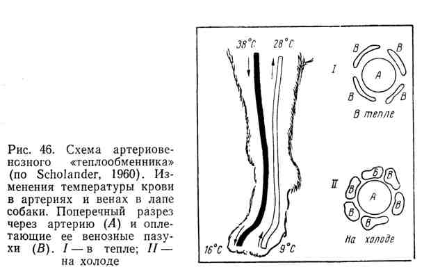 """Схема артериовенозного """"теплообменника"""". Изменения температуры крови в артериях и венах в лапе собаки"""
